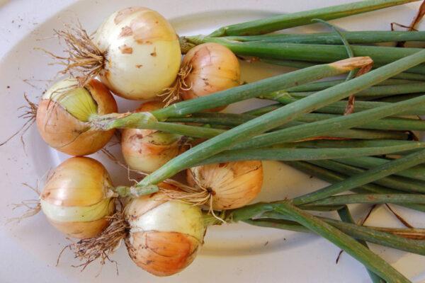 Ozimá odrůda cibule Augusta