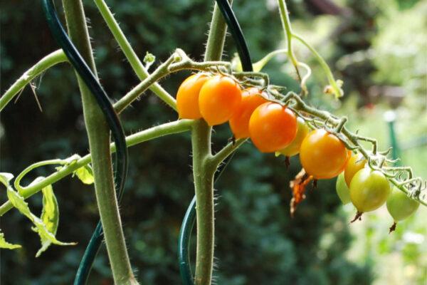 Rajčata zrají pomaleji