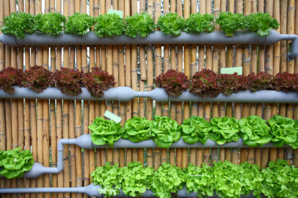 Salát pěstovaný v hydroponickém systému
