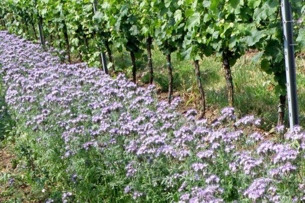 Zelené hnojení do pásu vinice, kombinace svazenky a pohanky