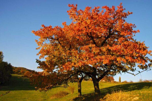 Nádherné podzimní vybarvení třešně