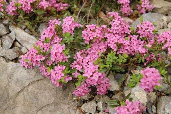 Lýkovec vonný (Daphne cneorum) Eximia
