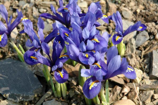 Kosatec síťkovaný (Iris reticulata) Harmony