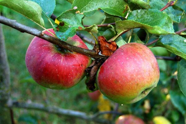 Jablka odrůdy Admirál