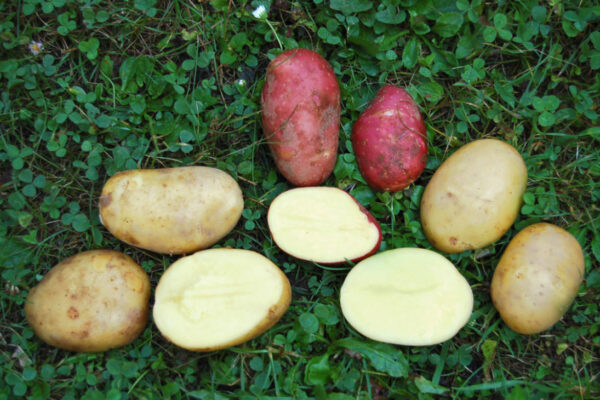 Brambory odrůd Sunita, Bella Rosa, Anabela