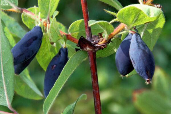 Zimolez kamčatský odrůdy Vostorg